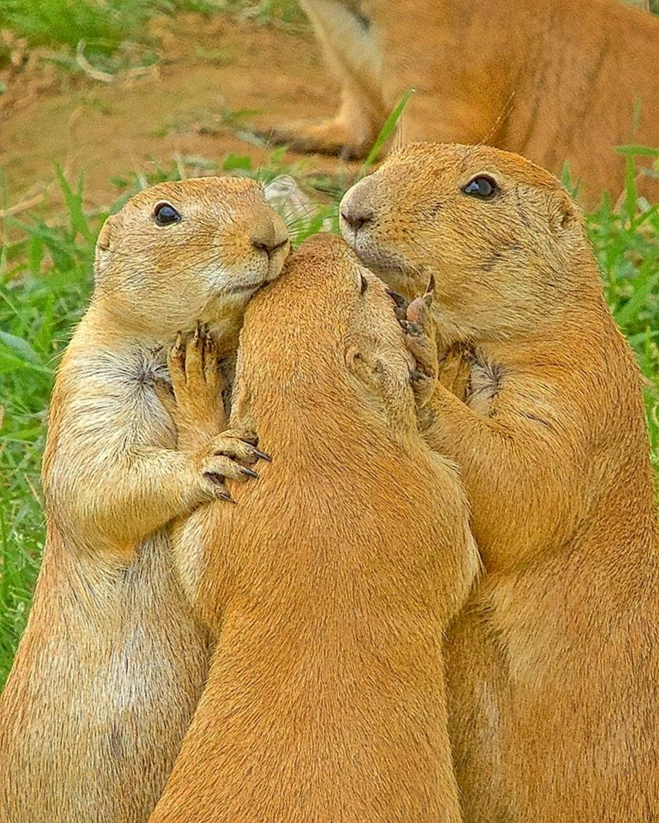 Prairie Dogs Praying for Survival