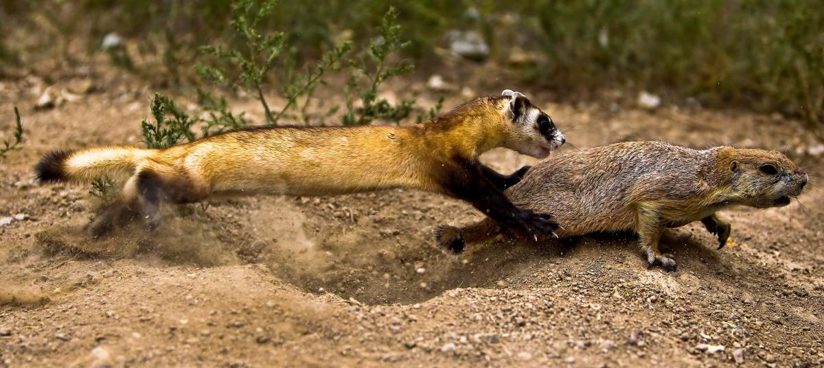 A wild ferret catching its prey, a prairie dog, which is a biological relative of groundhogs, chipmunks, marmots and woodchucks.  There are only five species of prairie dogs - black-tailed, white-tailed, Gunnison's, Utah and Mexican.