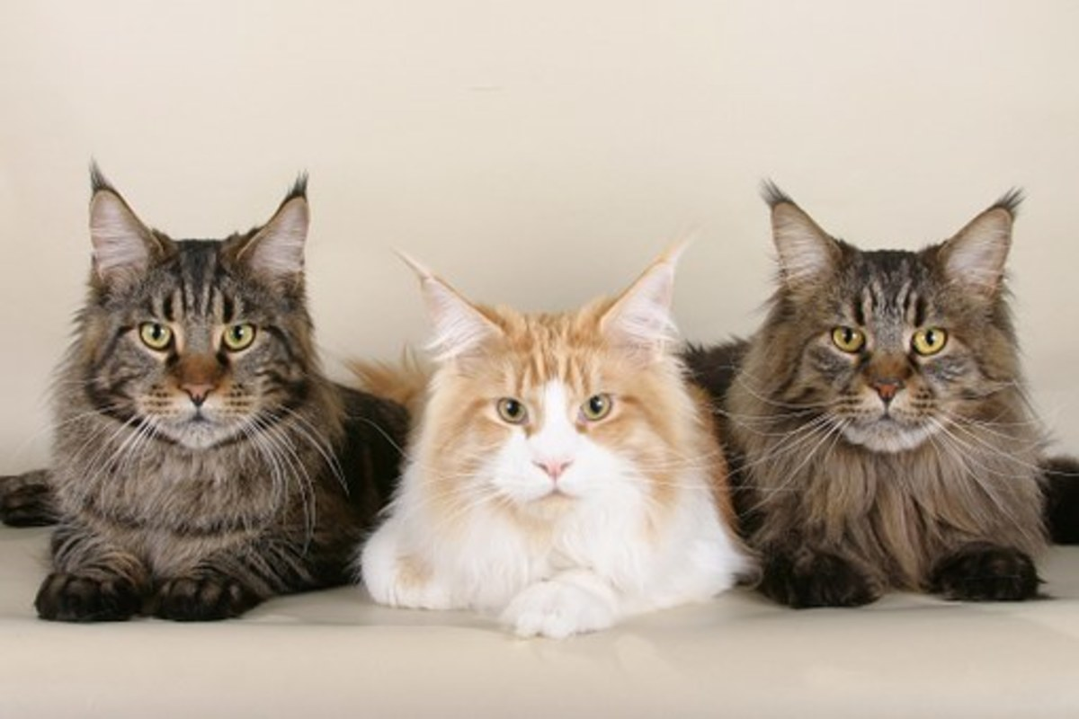 Maine Coons waiting for names.