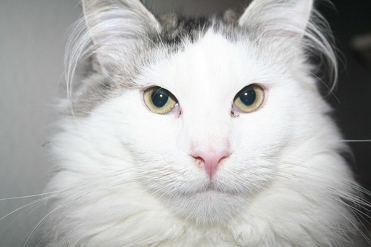Perhaps this white Maine Coon could be named Nova.
