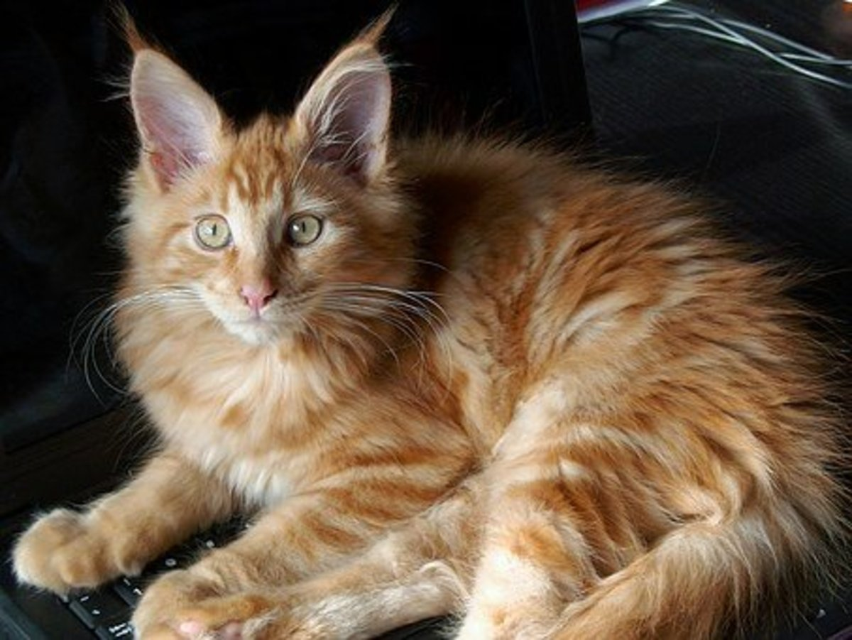 Red Maine Coon that would make a great Phoenix.