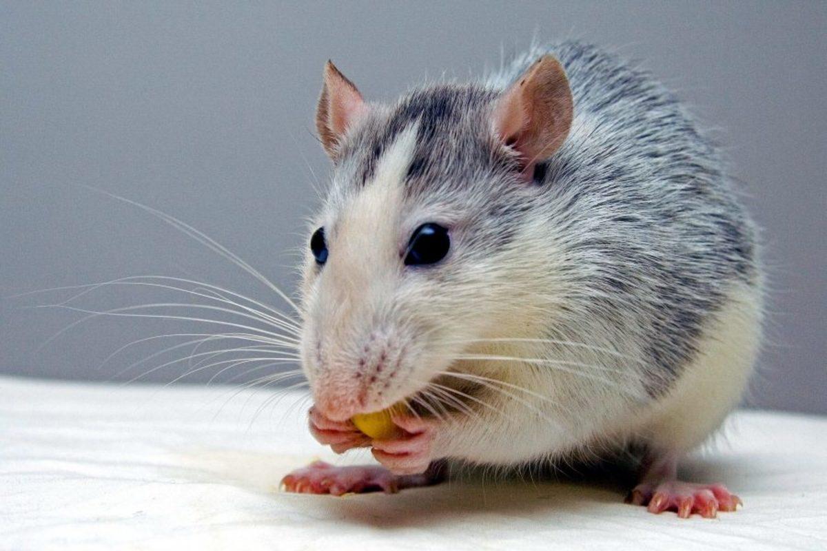 names-for-a-pet-rat