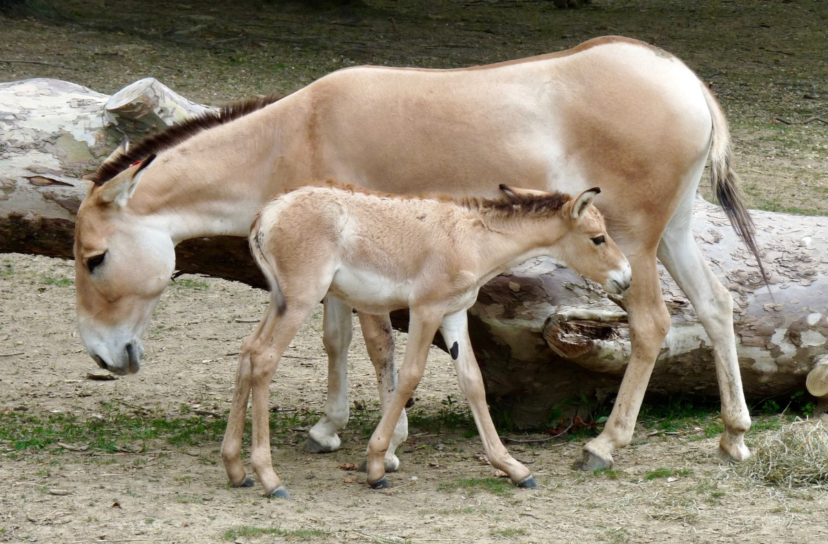 A Persian Onager mother and foal.