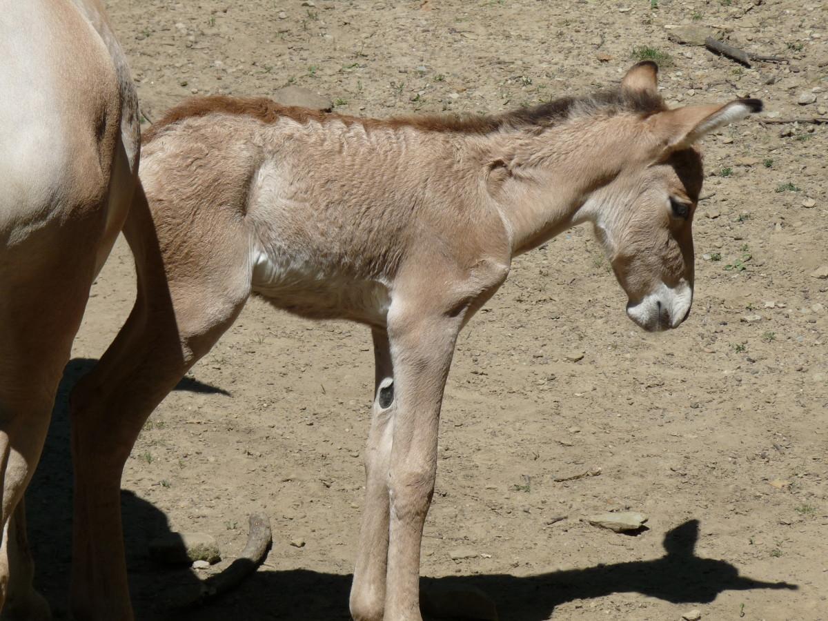 A newborn foal at a zoo.