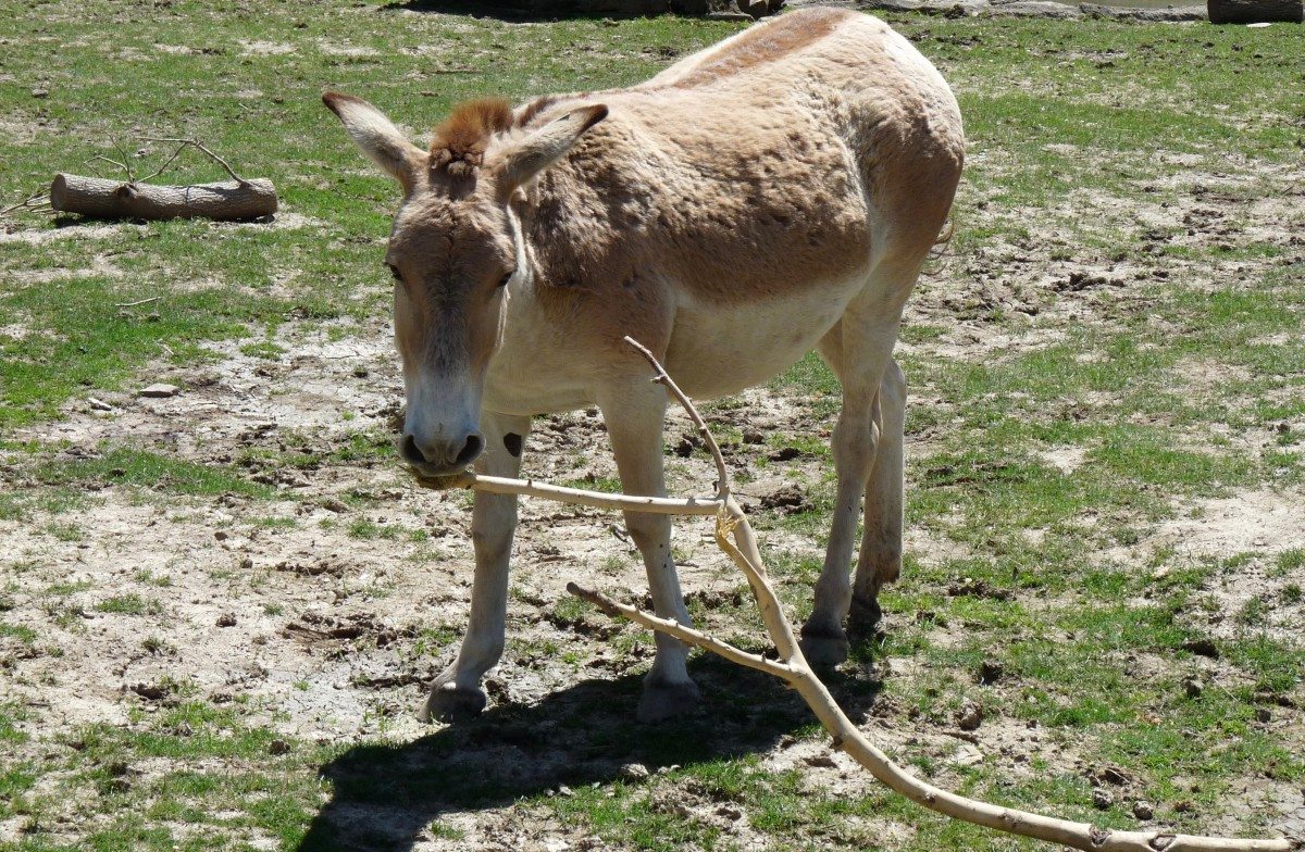 This Onager has a thick coat from the winter.