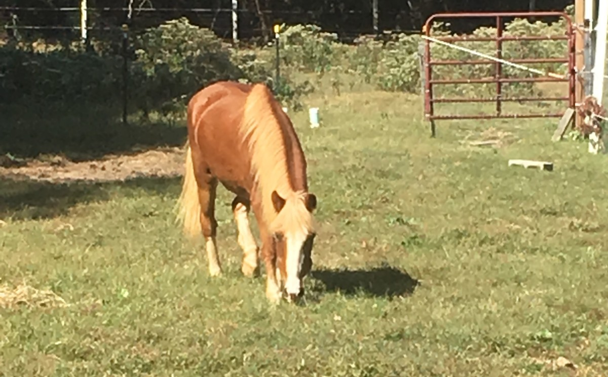 This precious little thing is Ginny. A pony I purchased for next to nothing to give pony rides on, unfortunately she couldn't hold up to it. Now she is a companion to another senior horse and a first grade kid that loves her!