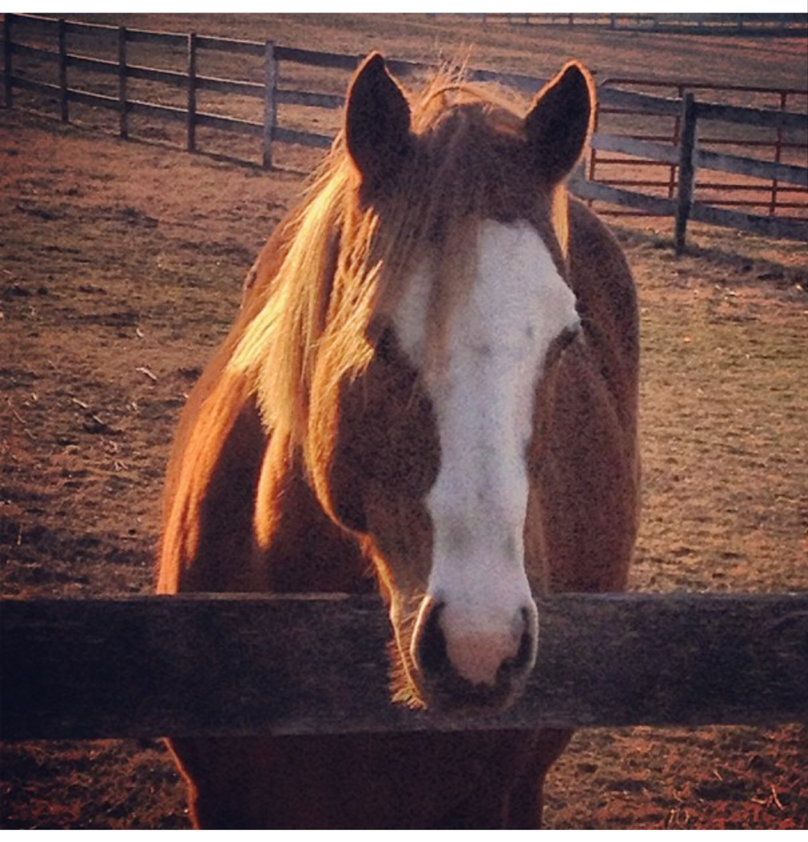 This is Spunk, a little mare that was born on our farm. I just never did get along with her for whatever reason. I sent her to a trainer friend of mine to be broke to ride and then to another trainer friend to find a home.