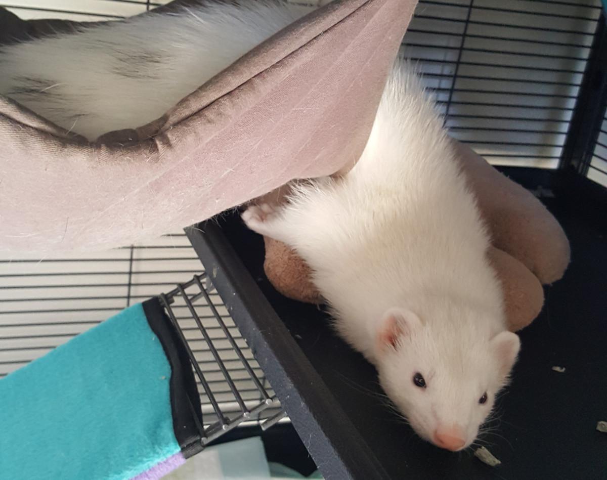 My ferret, Groot