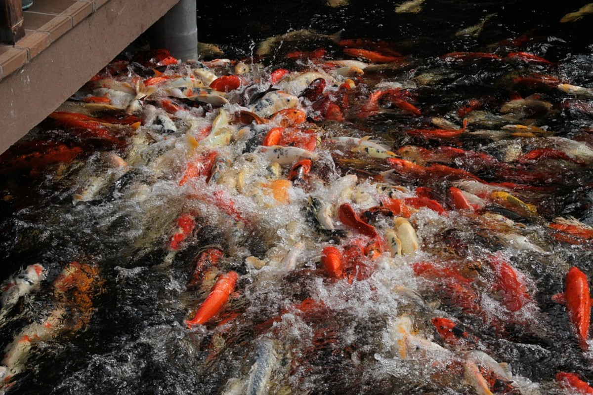 Public pond koi usually appear in large numbers and can get rowdy when a visitor feeds them.