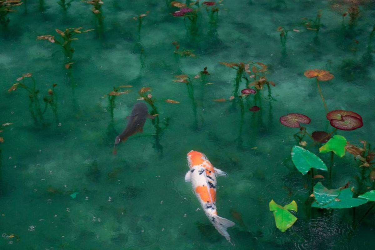 Koi have undeniable beauty. A well-designed koi pond can look like something out of a fantasy world.