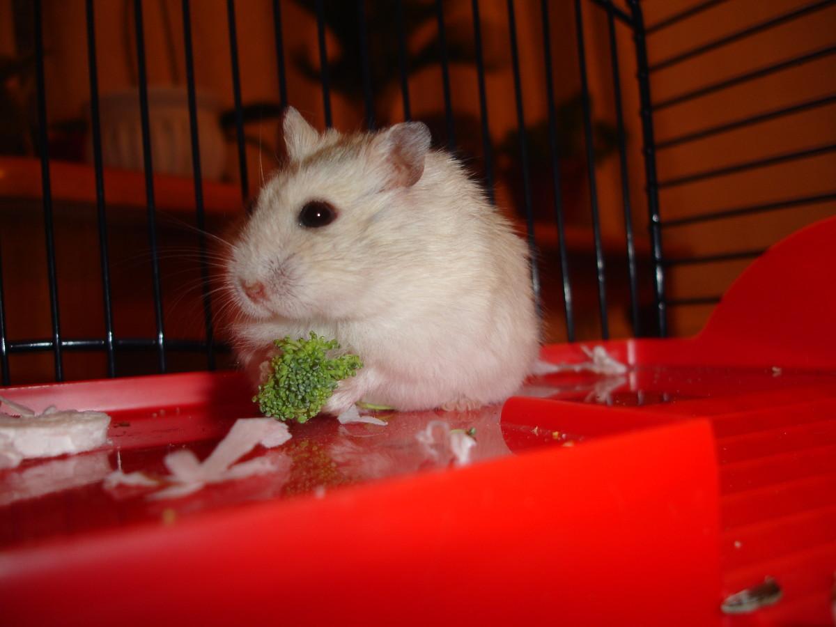 Hamster eating broccoli
