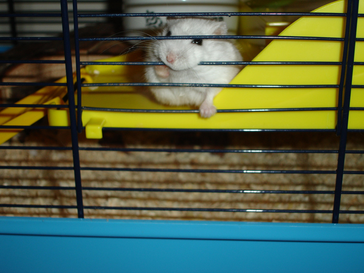 Is cage bar gnawing a sign of stress? It's a common habit in captive hamsters.