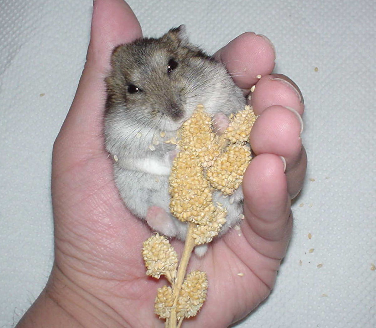Hamster with millet spray.