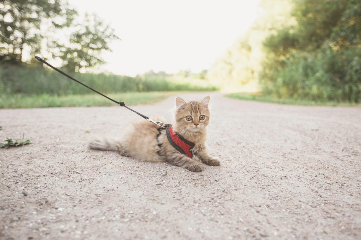 Cats can stay safe and enjoy the outdoors on a leash.