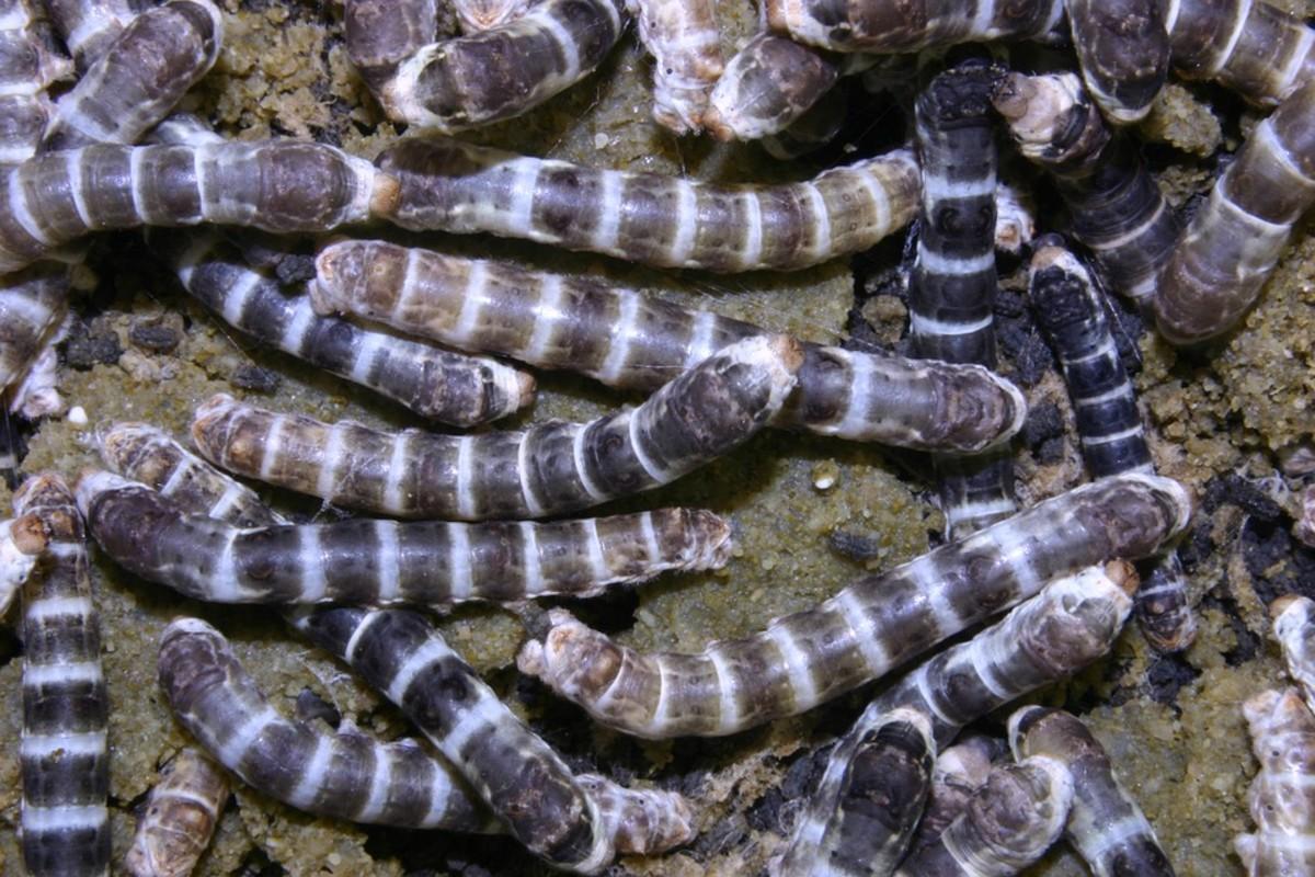 Zebra silkworms have dark stripes over their bodies.