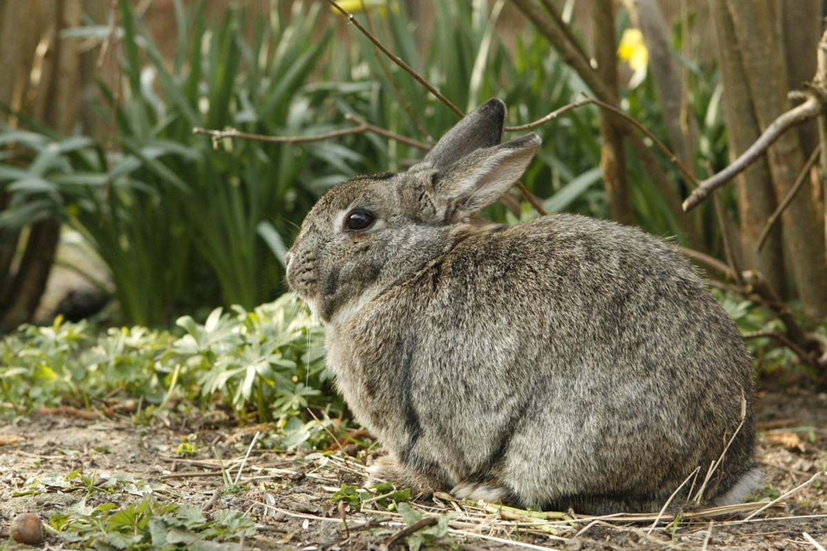 This rabbit is a bit chubby. One can tell from the  puffy chest and body.
