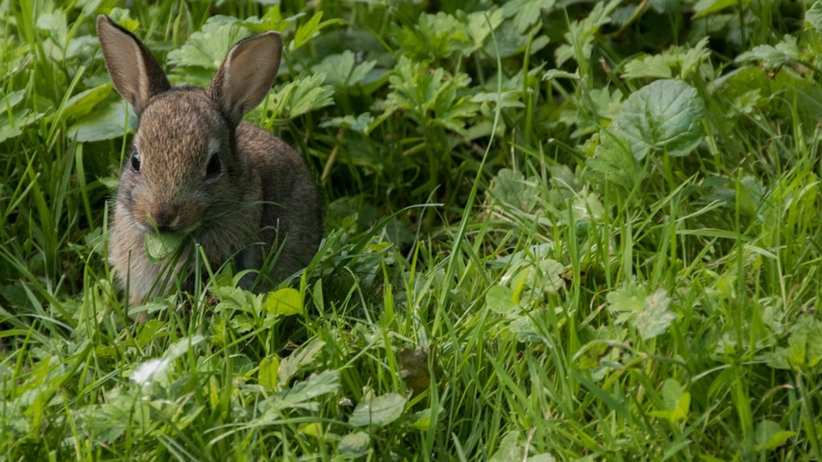 Some owners create a garden that allows their rabbit to feed on a variety of edible plants. This is fantastic, since rabbits are grazing animals and they get exercise.