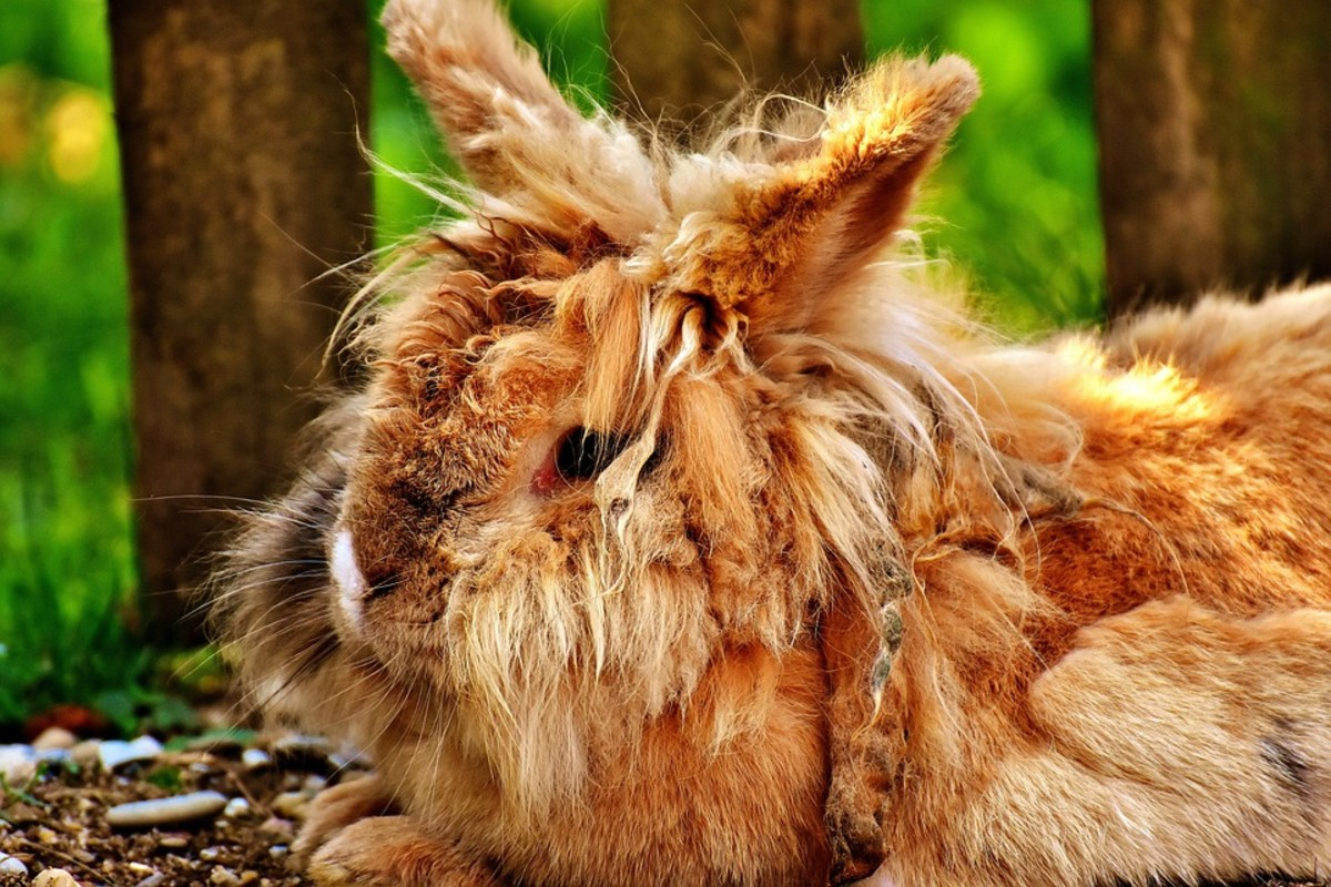 Rabbits with long hair are prone to tangled hair. If this tendency is not controlled, severe cases need to be corrected by a vet.