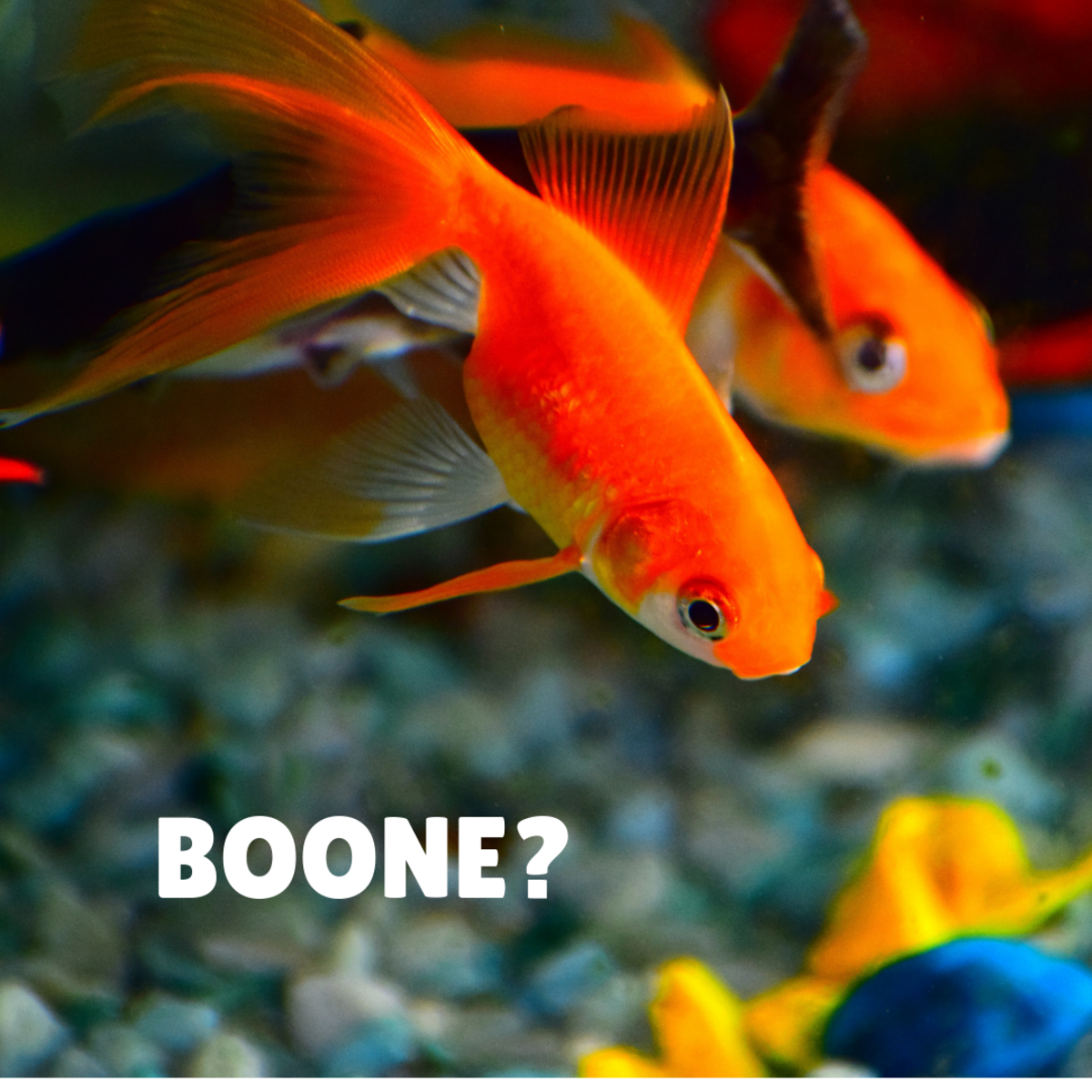 Is your goldfish a Boone?