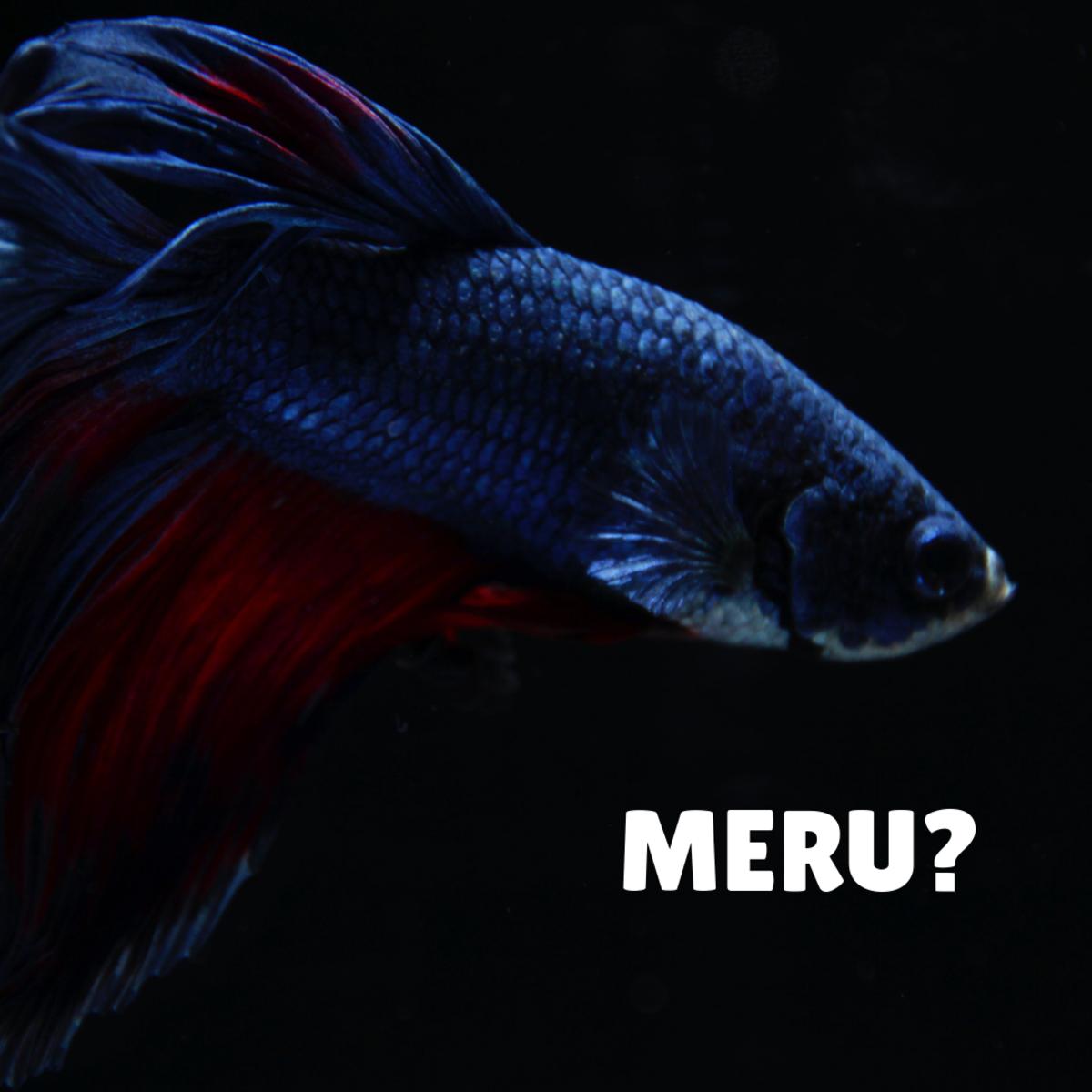 Is your betta fish a Meru?