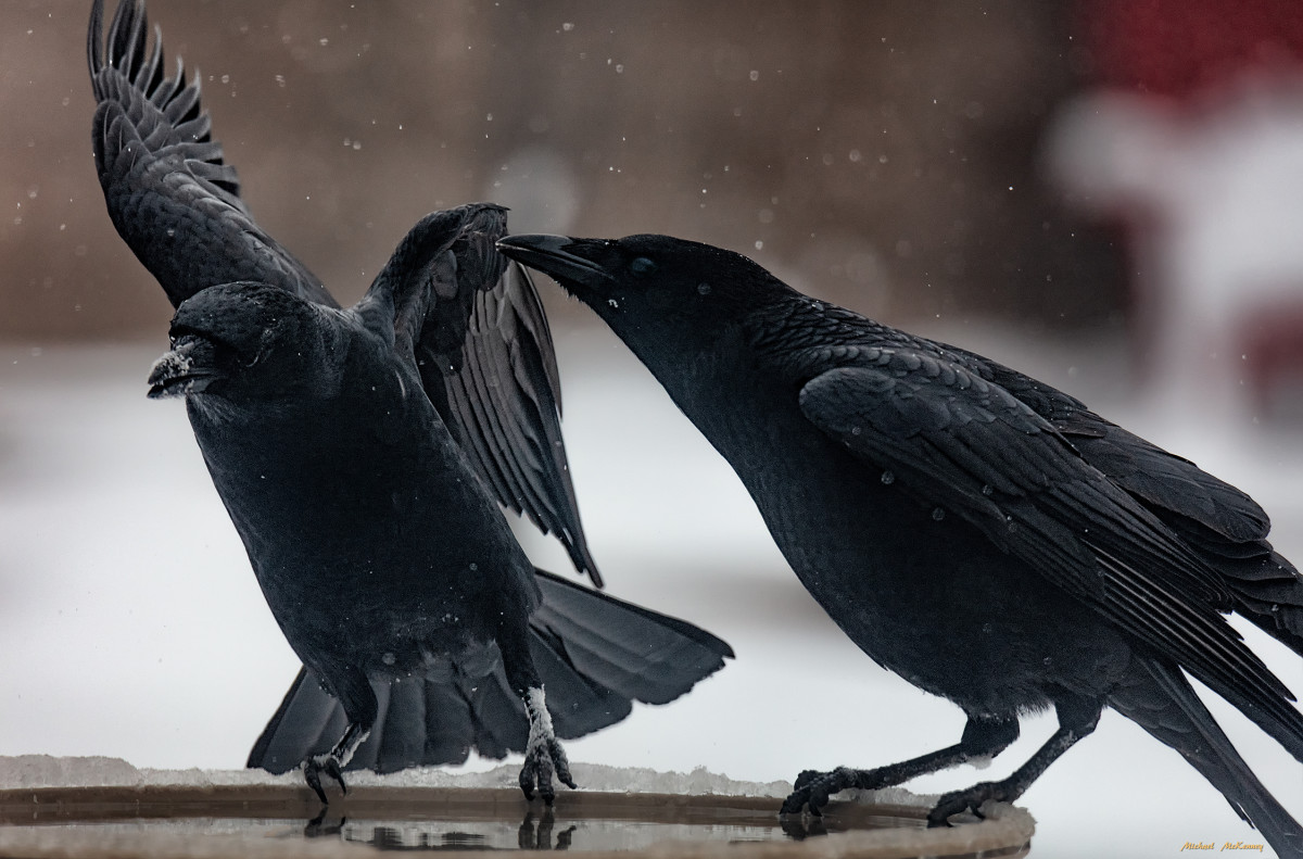 Even the beautiful, jet-black crows have been dropping in for water.  Before we put out our heated birdbath, they never landed in our yard.  Many people don't like crows, but we find them to be intelligent, beautiful birds.