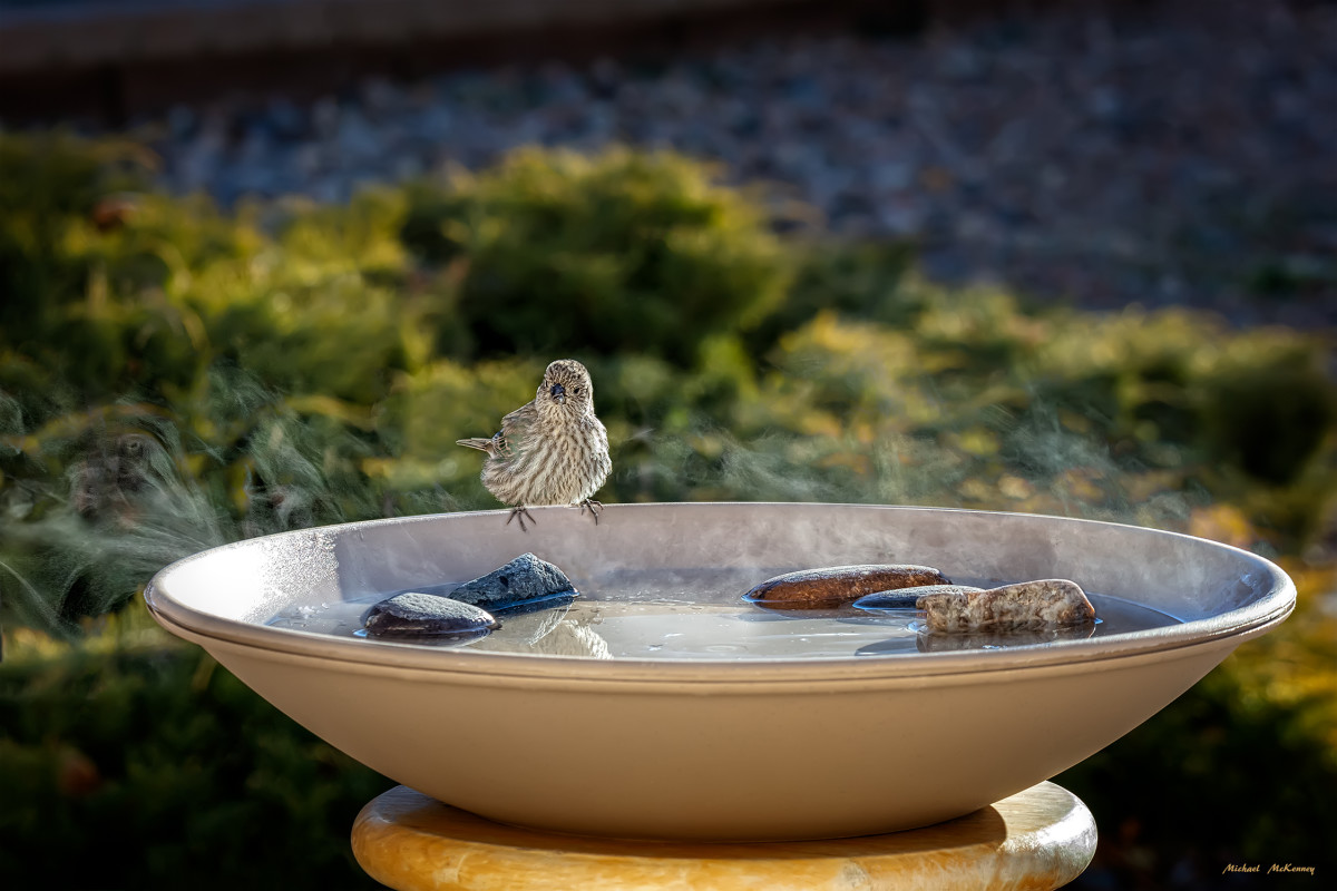 As you can see, I place a few rocks in the birdbath for the smaller birds, in case we allow the water level to drop.  After seeing this tiny bird looking around, I went out an added water but she eventually stepped out onto the rocks.