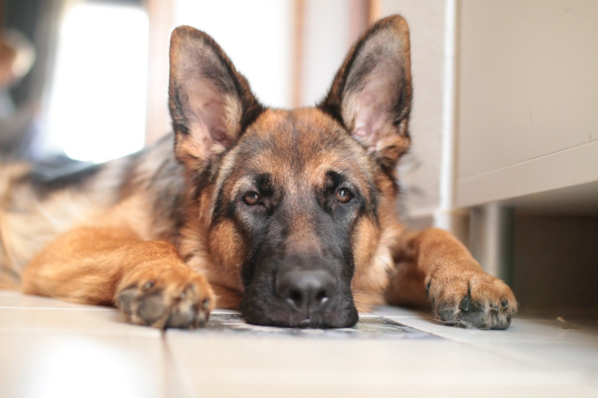 13-common-german-shepherd-health-problems
