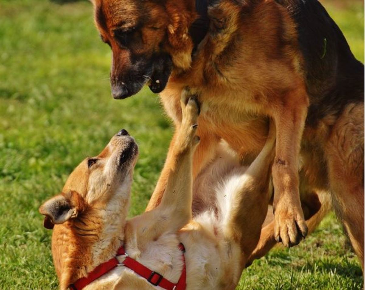This German shepherd's approach may be too overbearing for the pinned dog. Notice the tension around the mouth, ears back and puckered lips. However, this is just a moment captured in time and doesn't necessarily provide the whole picture.