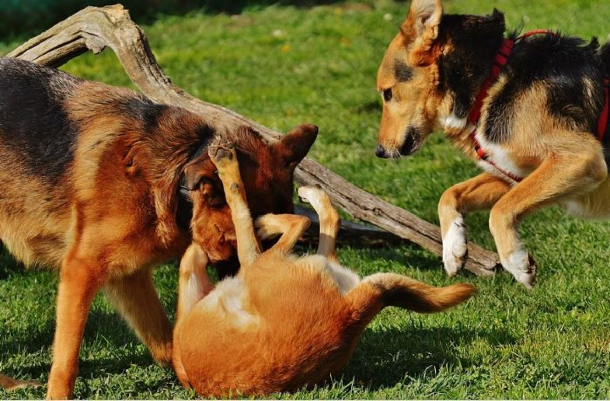 "Caution is needed when several dogs ""gang up"" against one dog."