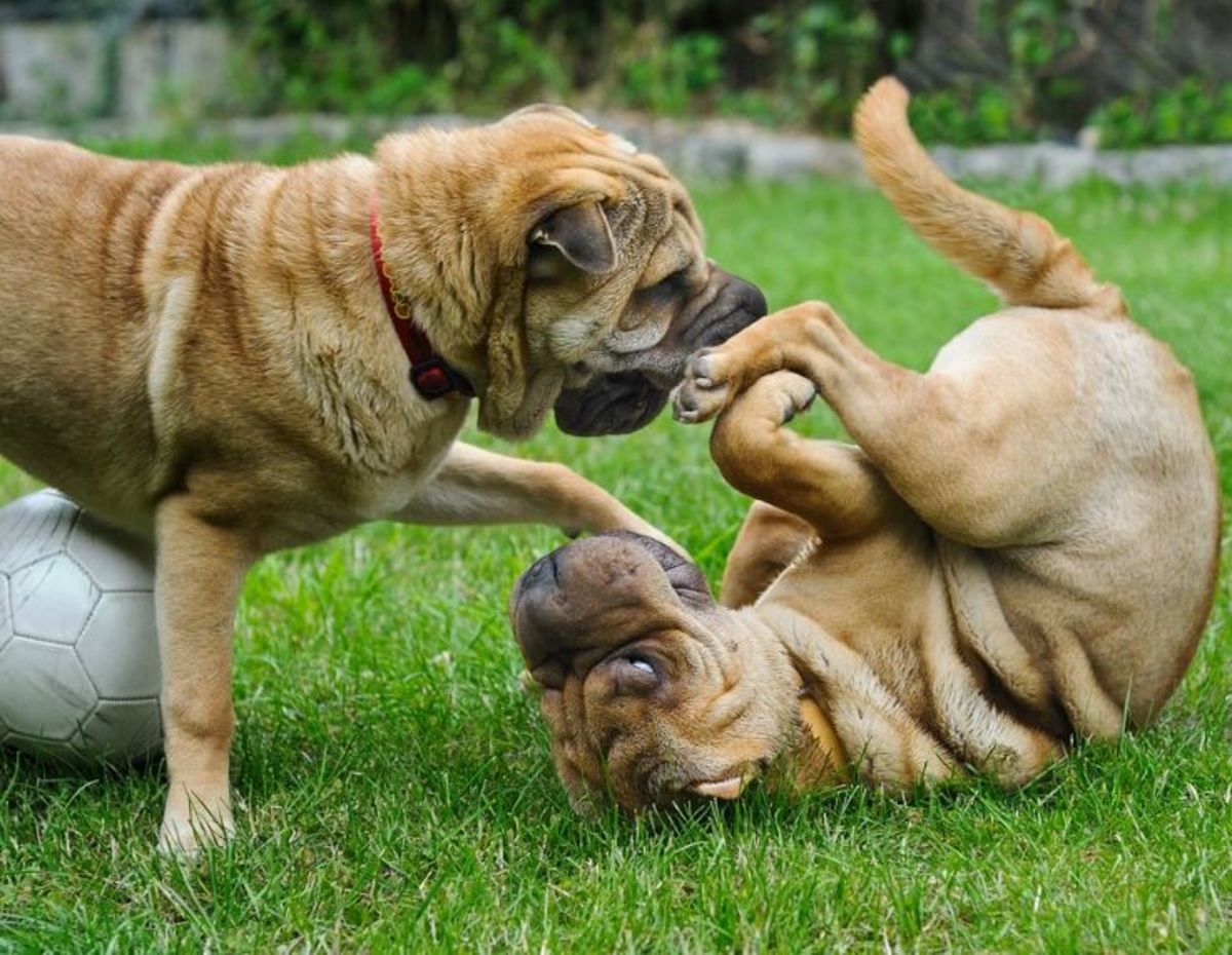These dogs are taking turns in who is being pinned to the ground.