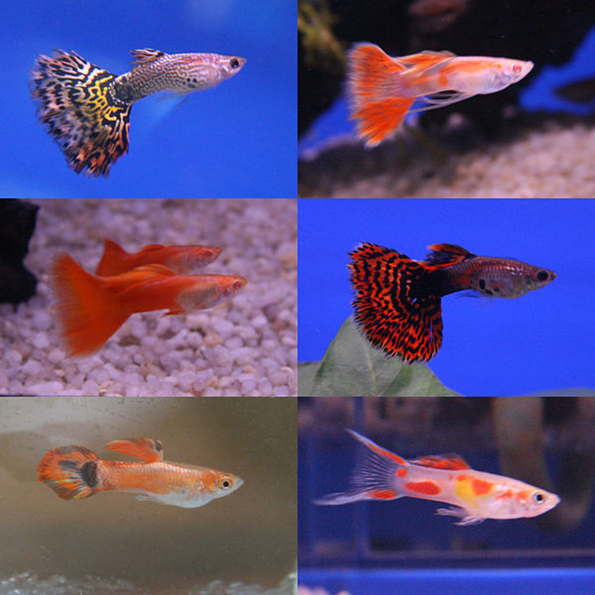 The amazing ability to adopt countless colours truly makes the guppy a fish breeder's dream.