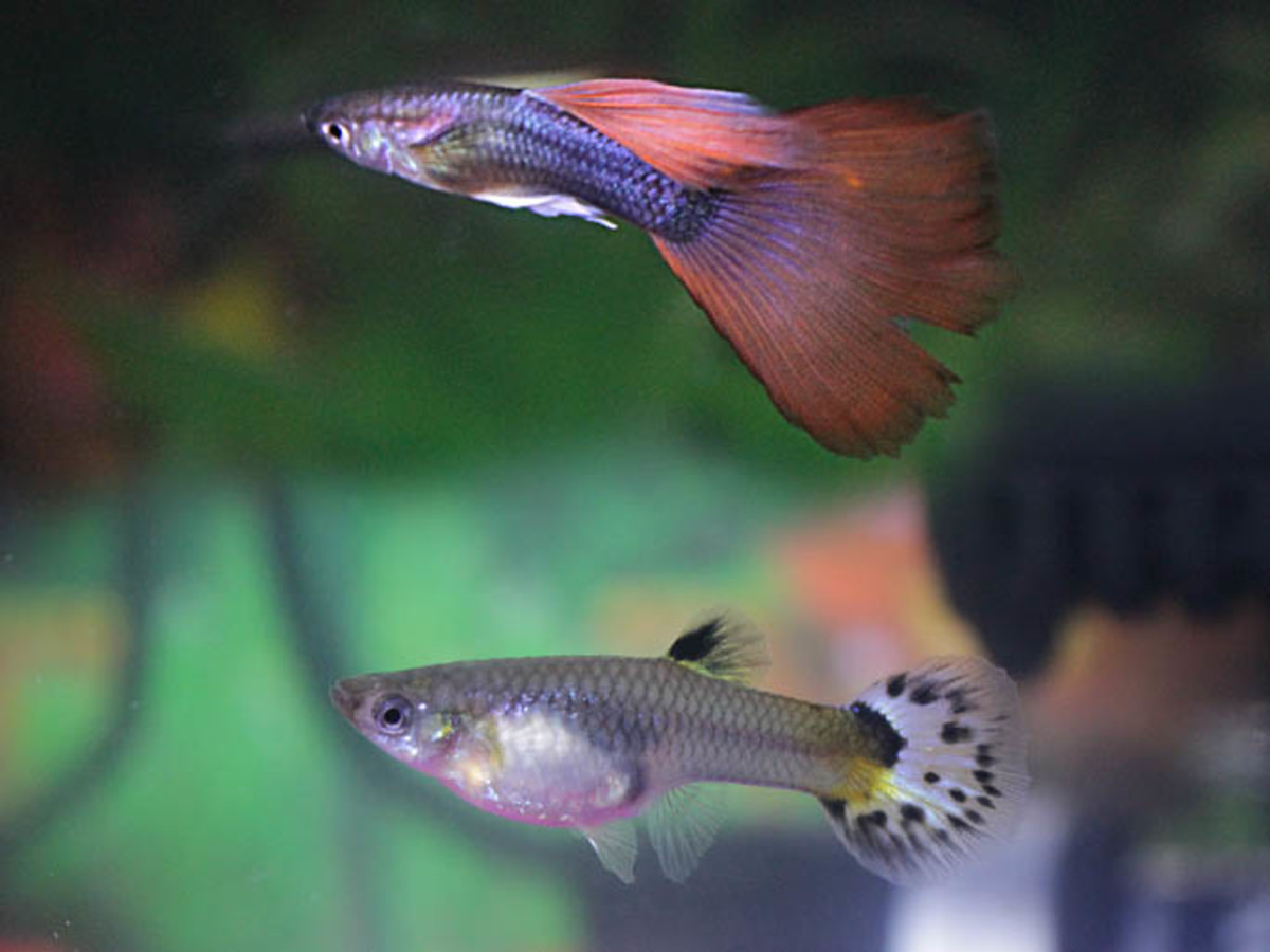 The genders are easy to tell apart. The male (top) is smaller and more colourful. The female is larger and more bulky.