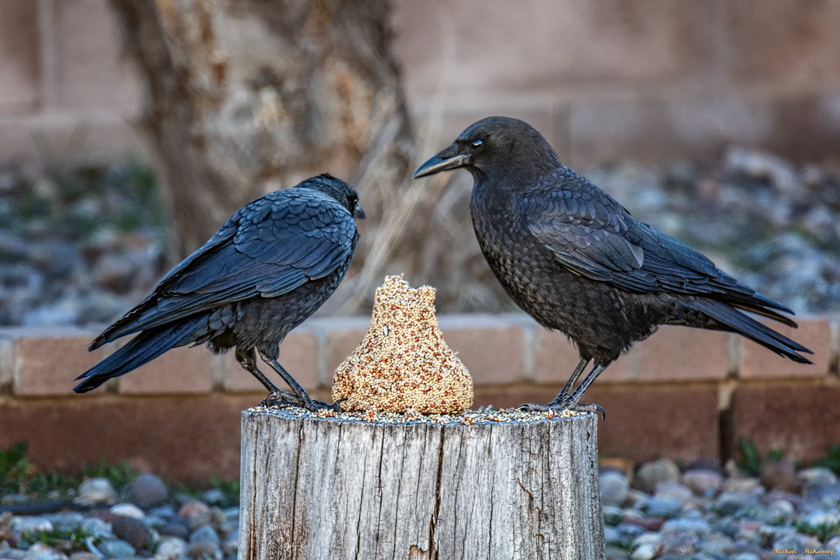 We had almost no bird activity on our birdseed bell so we finally took it down and put it on a tree stump at the back of our yard.  The crows pecked at it until it was completely gone.