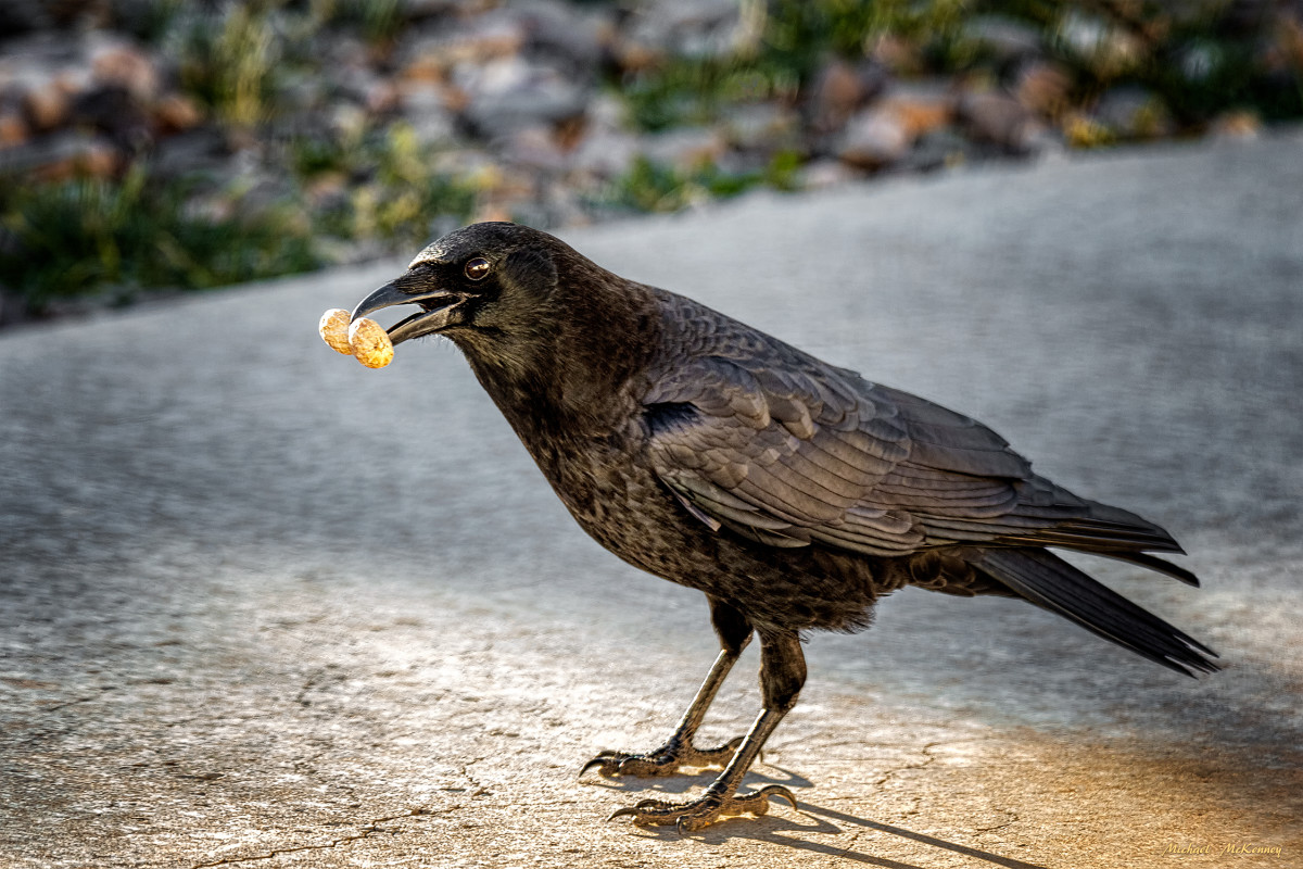 It doesn't matter where you put a peanut in your yard; the crows will find it.  They pick up rocks in their beaks and move them when necessary.