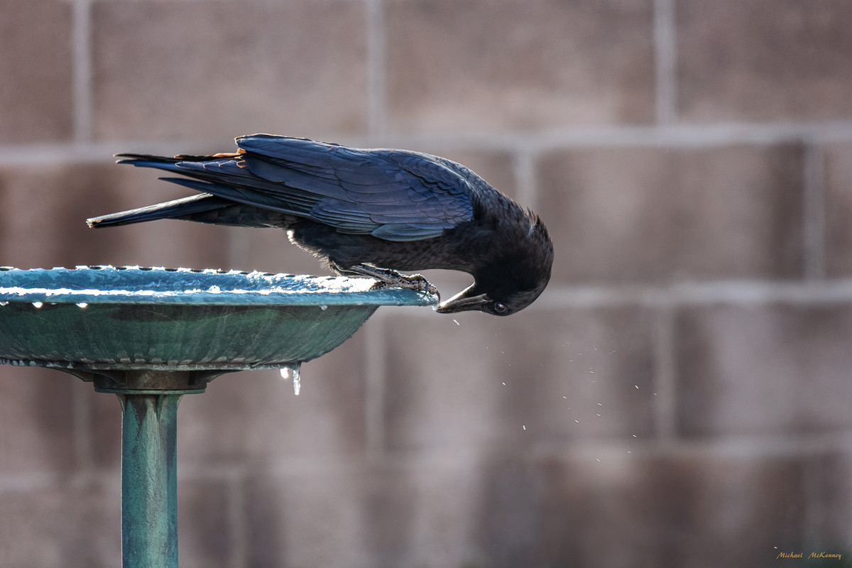 We put fresh water in our birdbaths every day.  This one is not heated so icicles form on the sides and the crows love to knock them off.