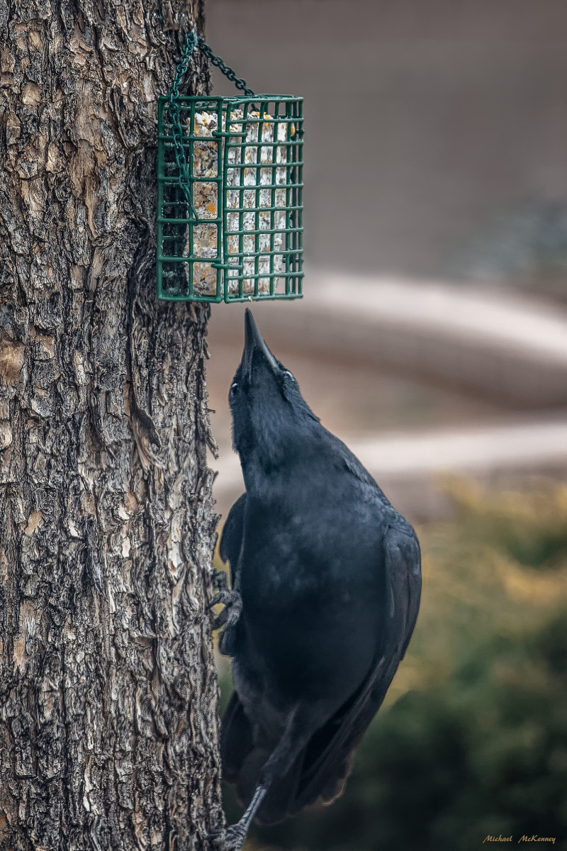 This crow apparently decided the suet on the bottom was just as good as that on the top.