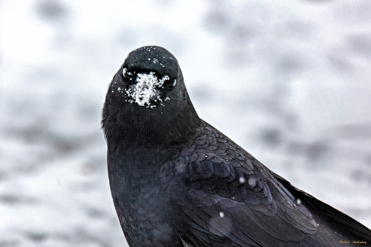 The snow is no deterrent to them if they think it has covered up peanuts or boiled eggs.  When it snows, all of them run around with white beaks.