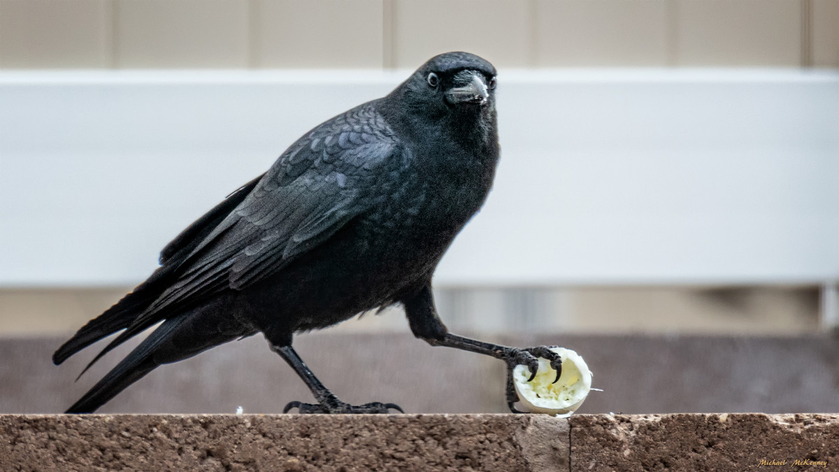 The look in this crow's eyes says it all.  It is not about to share this boiled egg with anyone.