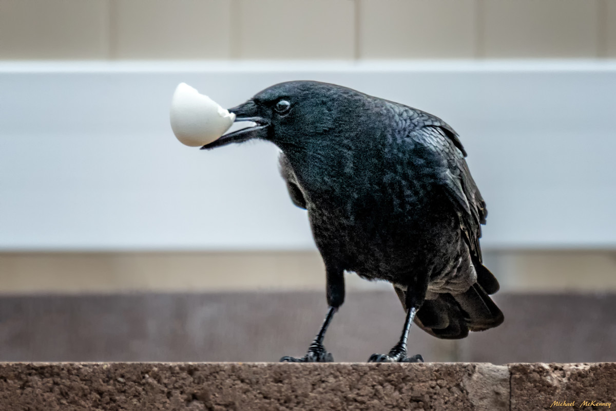 Lately, we've been cutting up the boiled eggs into smaller pieces so more crows can enjoy them, but this photo was taken when we put them out halved.