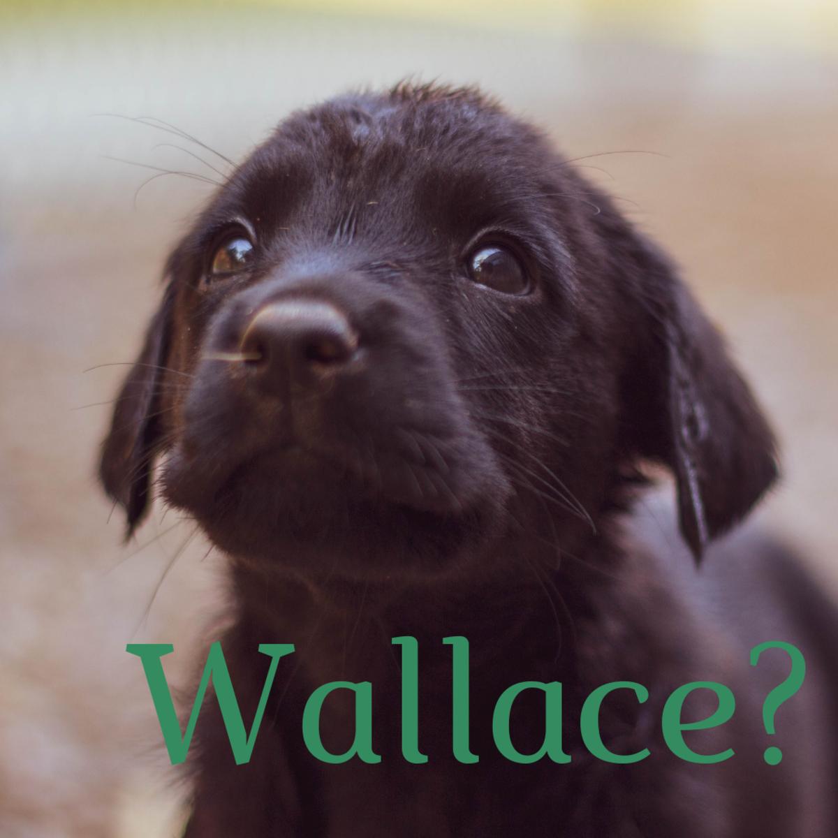 "Hmm, does he looks like a ""Wallace""?"