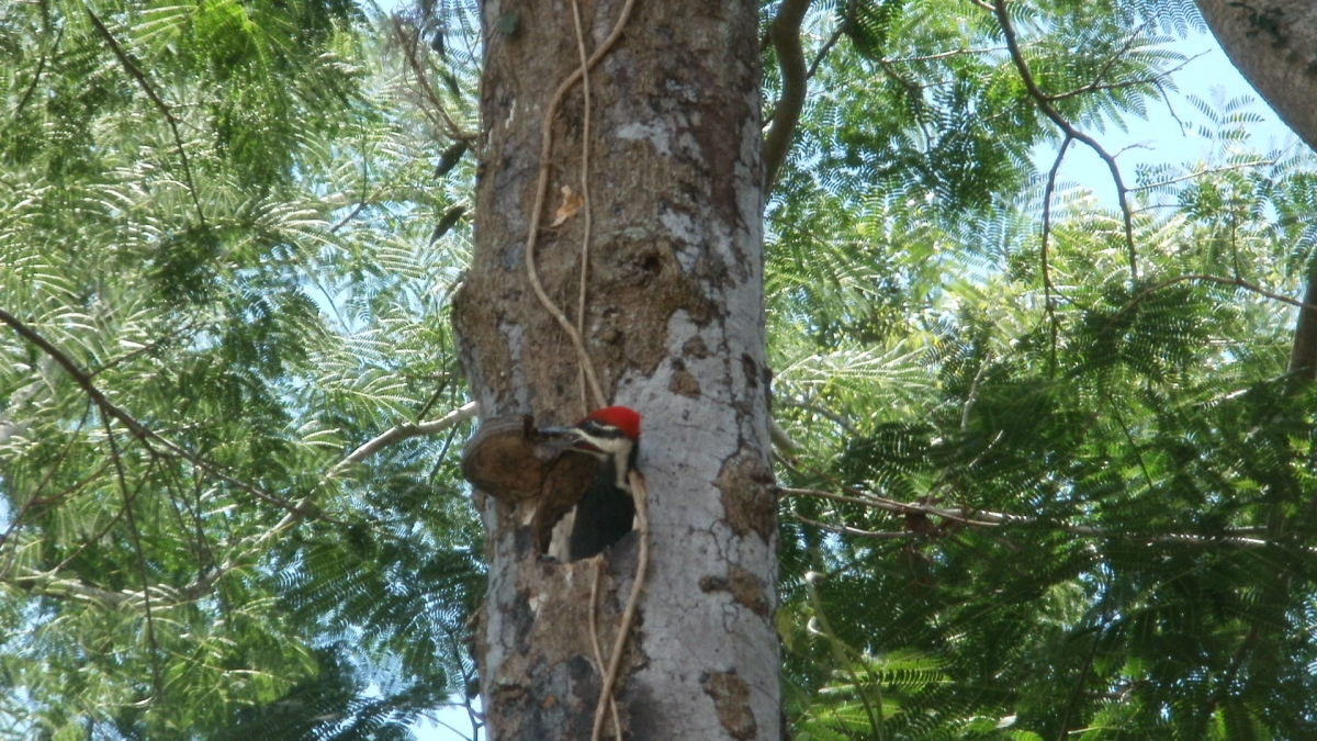 Male baby woodpecker practicing going after his own food