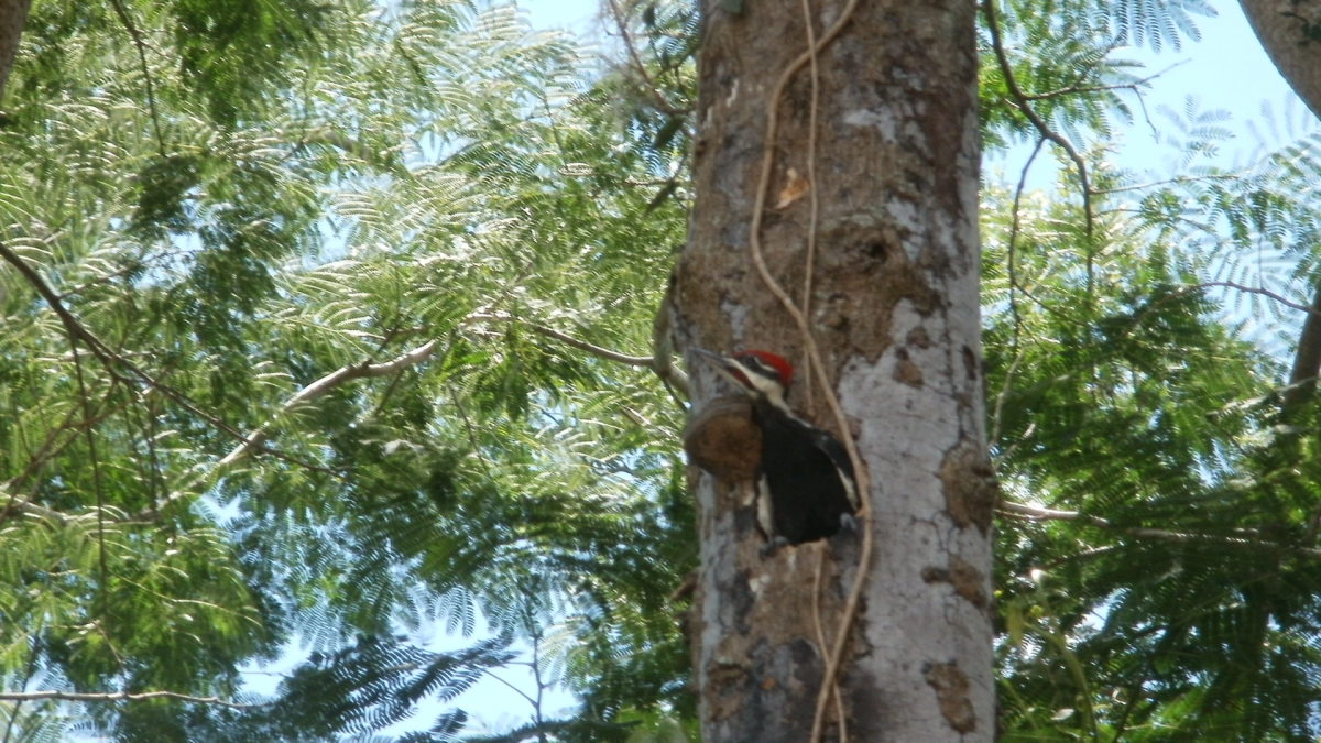 Baby male Pileated Woodpecker contemplating his first flight