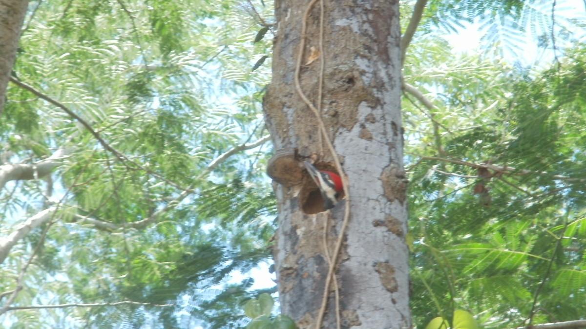Male baby woodpecker pecking on umbrella