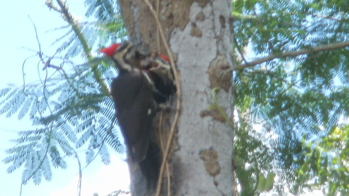 Male Pileated Woodpecker feeding babies (still shot blurred by action)