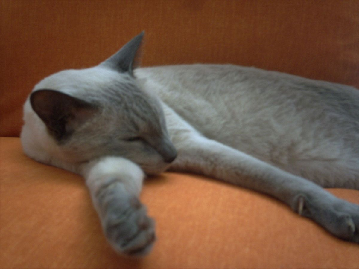 Sleeping Bluepoint Siamese Cat
