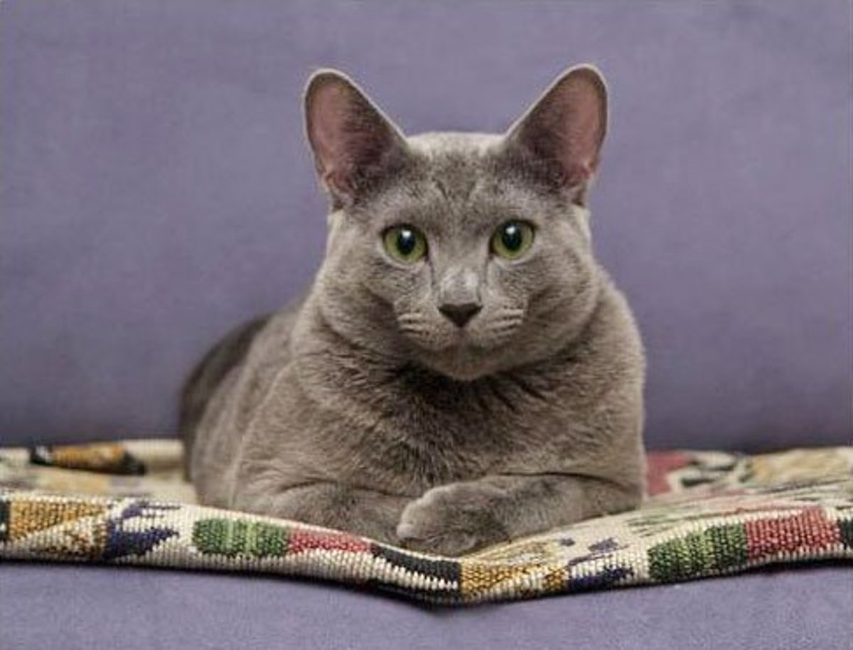 Regal Russian Blue Male Cat