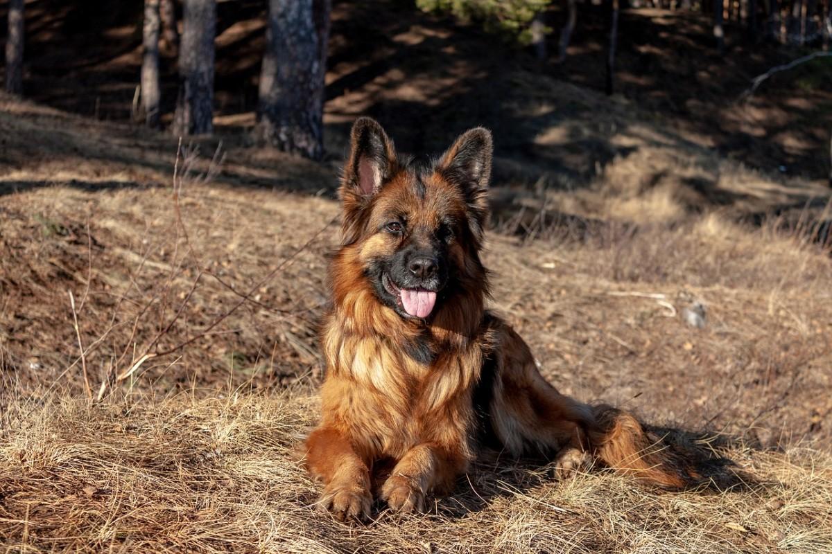 german-shepherd-bladder-issues
