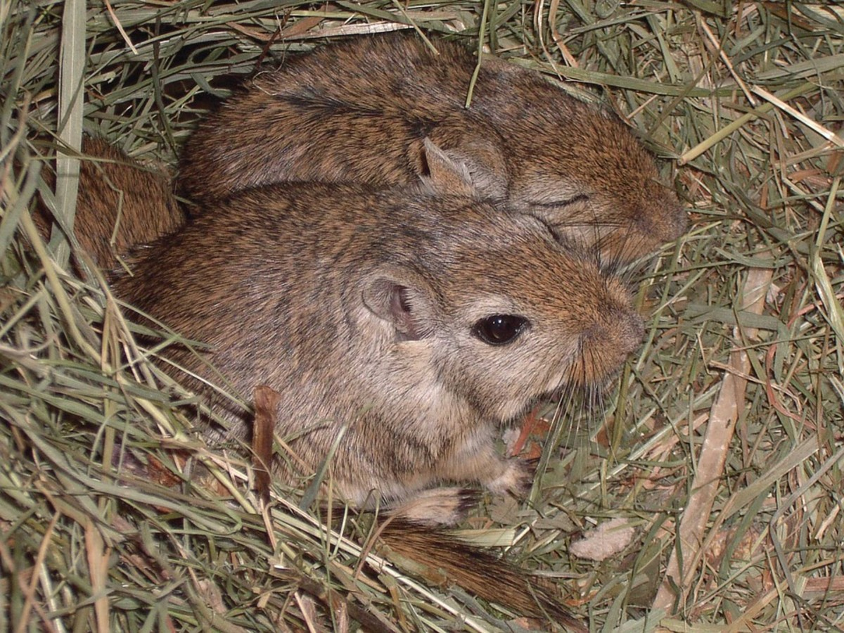 Gerbils tend to burrow and also cuddle together in their bedding. They dig ditches and tunnels in the bedding so it is important to have enough bedding for them to play in.