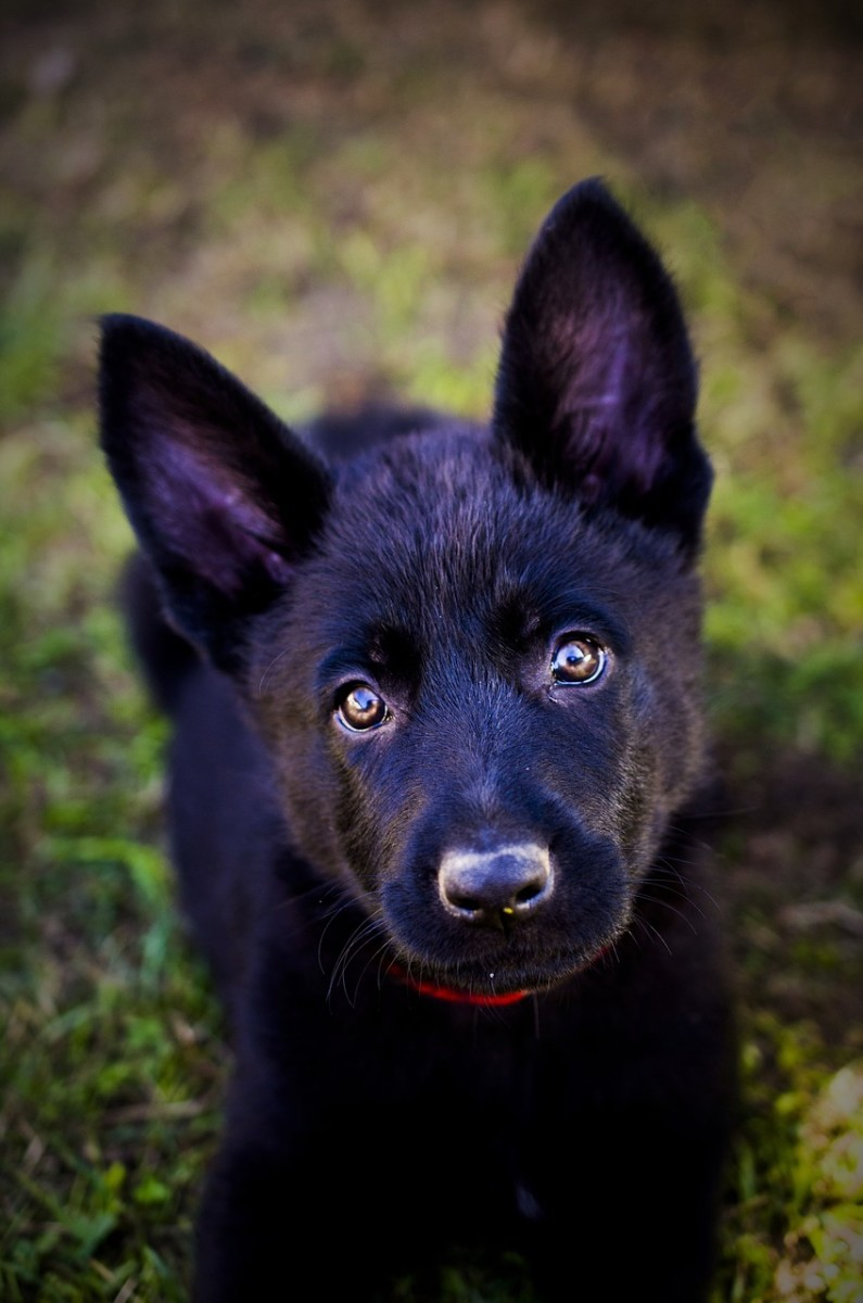 german-shepherd-puppy-guide