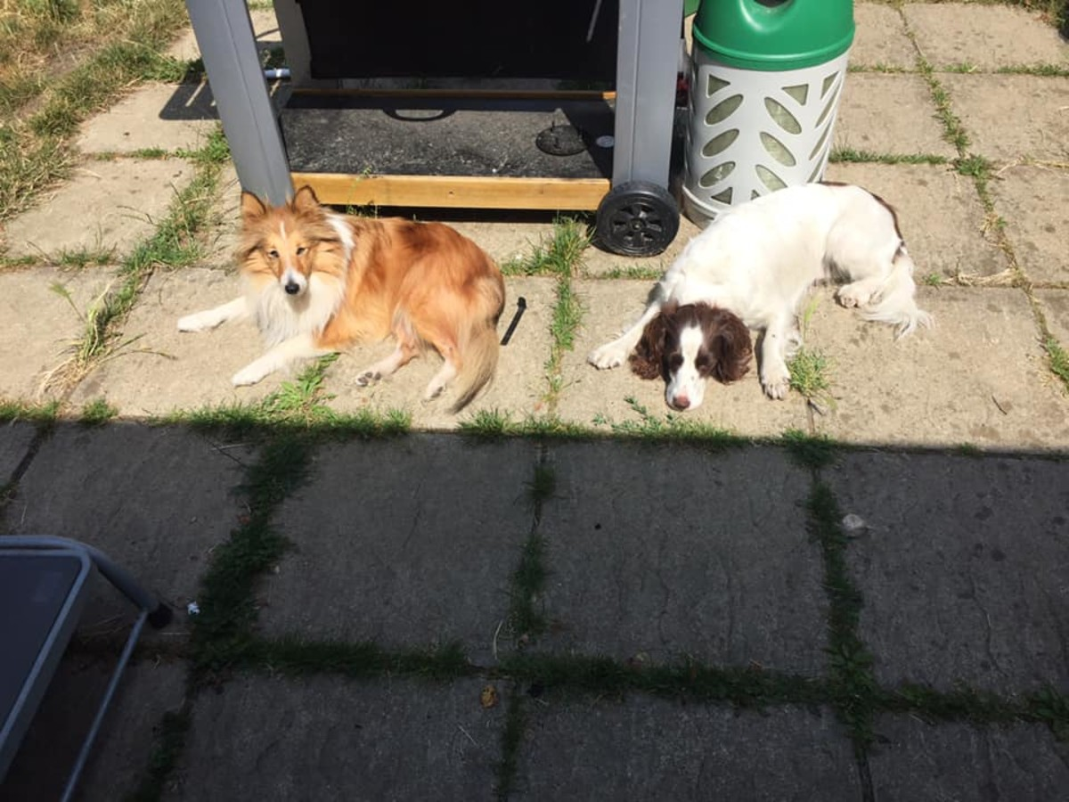 Dogs are not always sensible about heat, and need to be monitored in the sun